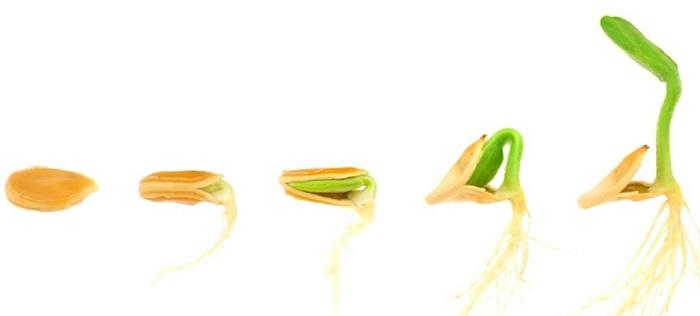 облучение семян, растений и готовой продукции низкоинтенсивным оптическим излучением